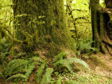 Closeup of a Tree Trunk and Ferns in a Rainforest  Washington
