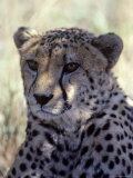 Closeup of a Cheetah  South Africa