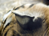 Close View of a Siberian Tiger&#39;s Ear