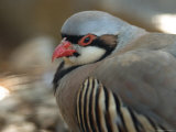 Chukar at the Sunset Zoo in Manhattan  Kansas