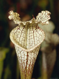 Carnivorous Trumpet Pitcher Plant  Sarracenia Luecophylla Hybrid  Australia