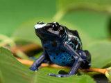 Blue and Yellow Poison Dart Frog  Sunset Zoo  Kansas