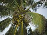 Close-Up of Coconuts on Coconut Palm Tree  Ambergris Caye  Belize