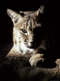 Bobcat Sitting in a Ray of Sun  Relaxed with a Predator's Stare