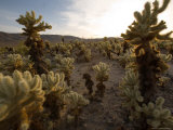 Cholla Garden on the South Side of the Park  Joshua Tree National Park  California