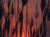 Closeup Silhouette of Grains against a Rising Sun