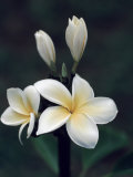 Close View of a Delicated Plumeria Flower  Hawaii