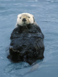 Closeup of a Sea Otter  Alaska