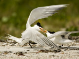 Caspian Terns Fight over a Fish Meant for Courtship