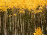 Aspen Trees in Fall Colors in Sw Colorado