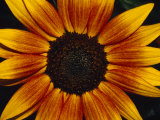 Closeup of a Sunflower Seed Bed Surrounded by Orange-Yellow Petals  Australia