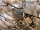 Brown Towhee at the Omaha Zoo  Nebraska