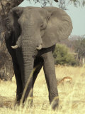 African Elephant Face and Body Portrait with Impala on the Savannah