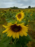 Close View of a Sunflower at the Edge of a Field of Sunflowers  Tuscany  Italy