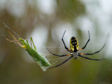 Black-And-Yellow Argiope at Spring Creek Prairie Captured a Katydid