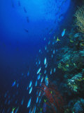 Blue and Gold  Fusiler  Caesio Teres  Swimming Down Reef Wall  Solomon Islands