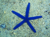 Blue Sea Star or Starfish on Sand  Linckia Laevigata