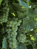 Chardonnay Grapes on the Vine  Washington