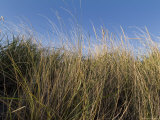 Close-Up of Aquatic Grass against a Blue Sky  Block Island  Rhode Island