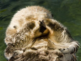 Closeup of a Captive Sea Otter Covering his Face
