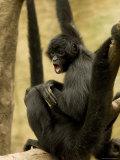 Black Spider Monkeys at the Omaha Zoo  Nebraska