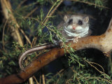Alert Feathertail Glider with Tail Outstretched Climbs a Branch  Australia
