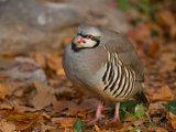 Chukar in Fall Color at the Riverside Zoo