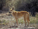 Alert Dingo Standing in an Open Patch of Desert Wild Flowers  Australia