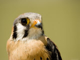 Closeup of an American Kestral  Massachusetts