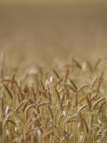 Closeup of Wheat in Field