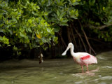 Adult Roseate Spoonbill Portrait  Tampa Bay  Florida