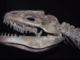 Allosaurus Skeleton Skull  Jaws and Teeth  against a Black Background