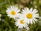 Closeup of Daisies  Massachusetts