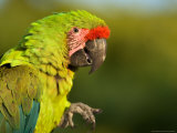 Buffon's or Great Green Macaw  at the Zoo