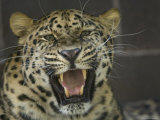 Amur Leopard from the Omaha Zoo  Nebraska