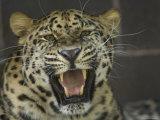 Amur Leopard from the Omaha Zoo  Nebraska