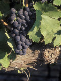 Cabernet Grapes on the Vine in Santa Ynez Valley  California