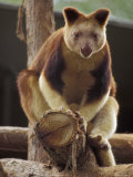 Captive Goodfellows Tree Kangaroo Perched on a Tree Branch Display  Melbourne Zoo  Australia