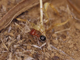 Bright Red Ant with a Huge Head Carries a Grass Seed to the Nest  Australia