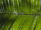 Close-Up of Palm Leave Shading from the Sun  Ambergris Caye  Belize