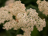 Apricot Yarrow at the Maxwell Arboretum