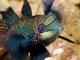 Close View of a Male Mandarinfish  Malapascua Island  Philippines