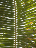 Close-Up of Palm Leave or Frond with Sky Behind  Ambergris Caye  Belize