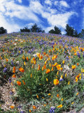 California Poppies and Lupins on a Hill During the Spring