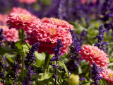 Closeup of Colorful Flowers in Butchart Gardens