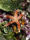 Colorful Seastar Laying on Cean Reef Floor