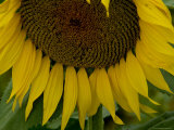 Close View of a Sunflower in Tuscany  Italy