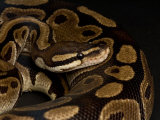 Ball Python at the Sunset Zoo in Manhattan  Kansas