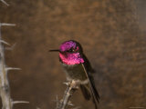 Anna's Hummingbird at the Omaha Zoo  Nebraska