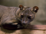 Fossa from the Henry Doorly Zoo's Desert Dome  Omaha Zoo  Nebraska